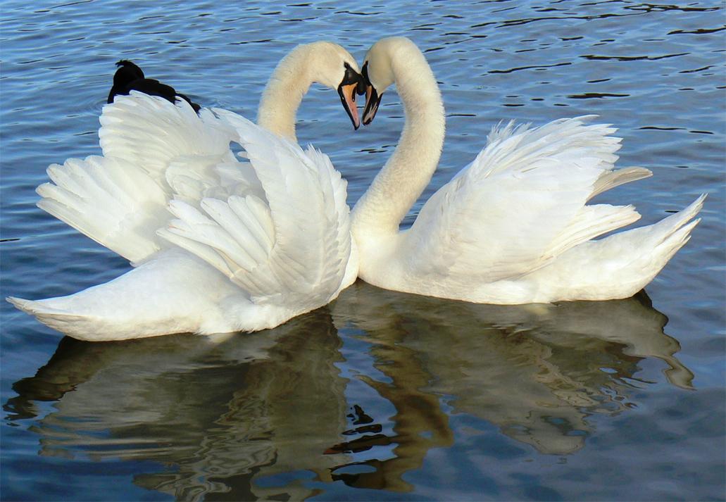 Deux cygnes blancs.